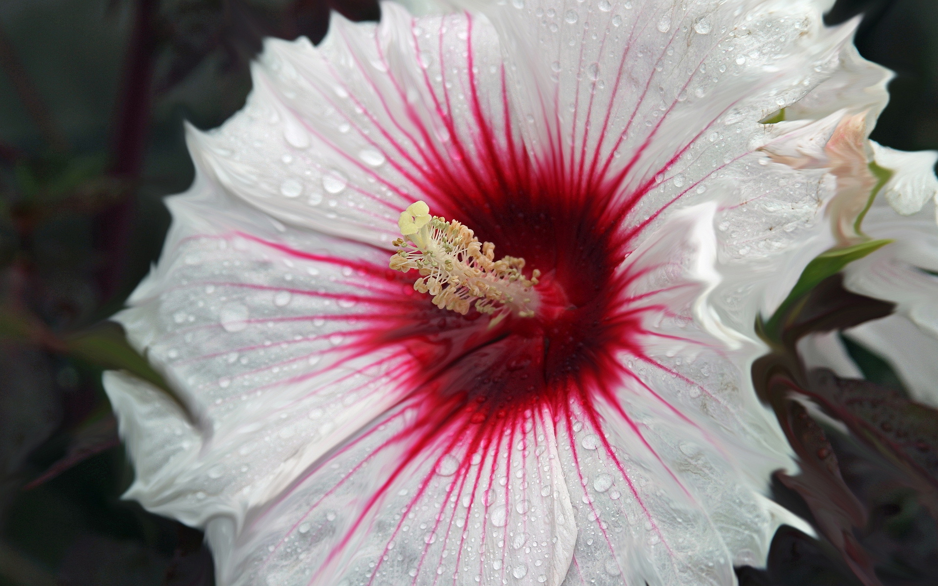 Hibiscus Free Hd Wallpapers