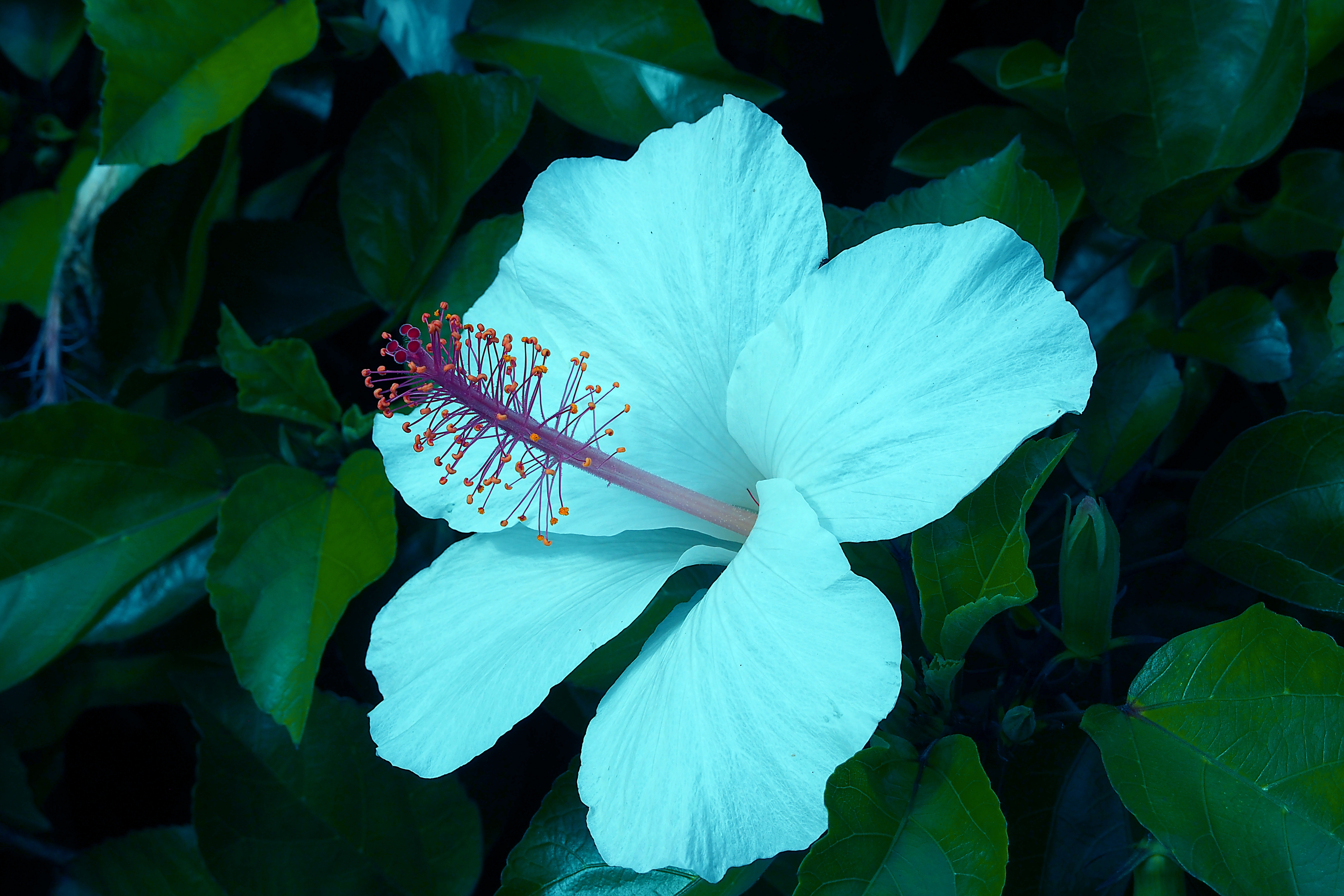 Hibiscus Hd Background