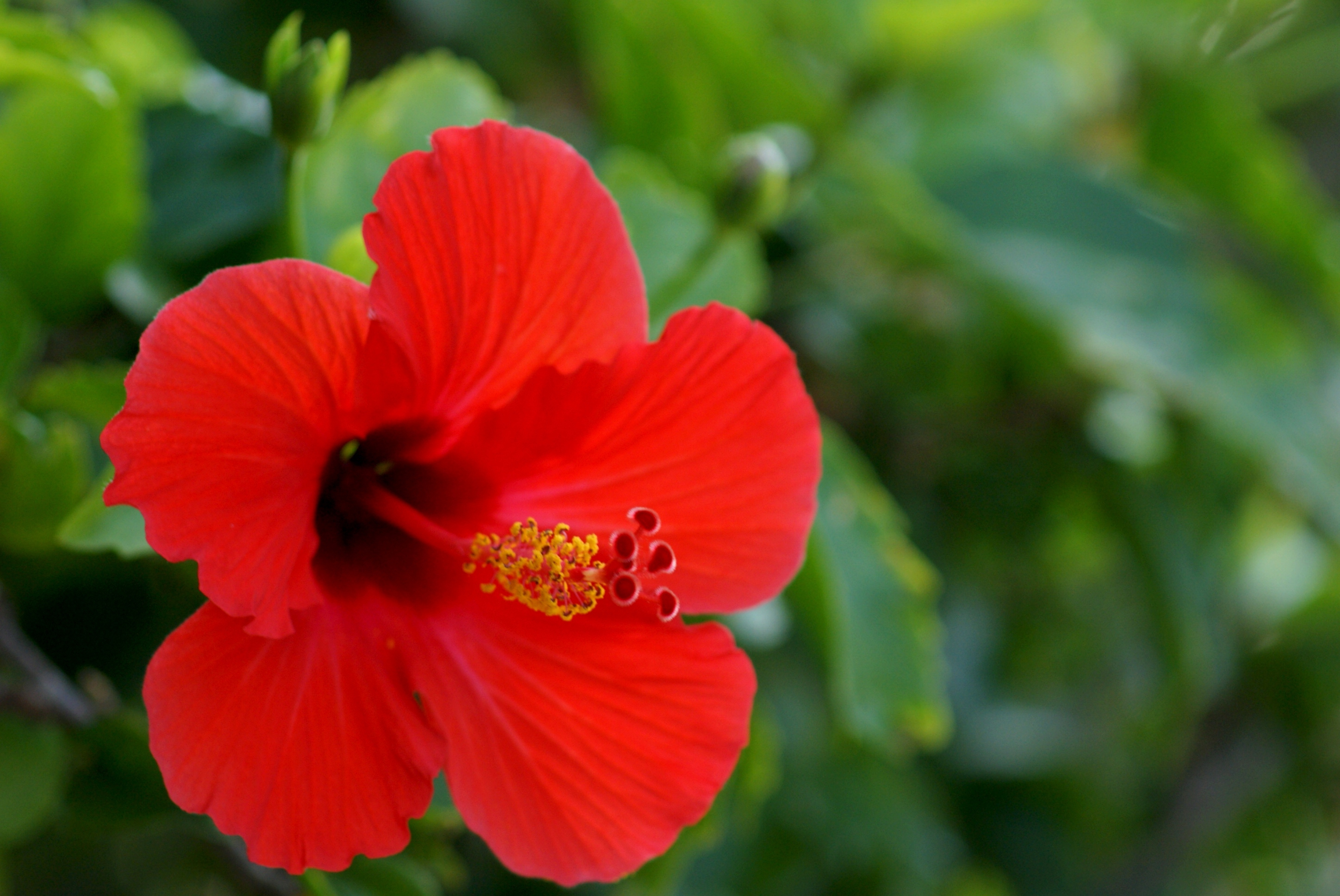 Hibiscus High Definition Wallpapers