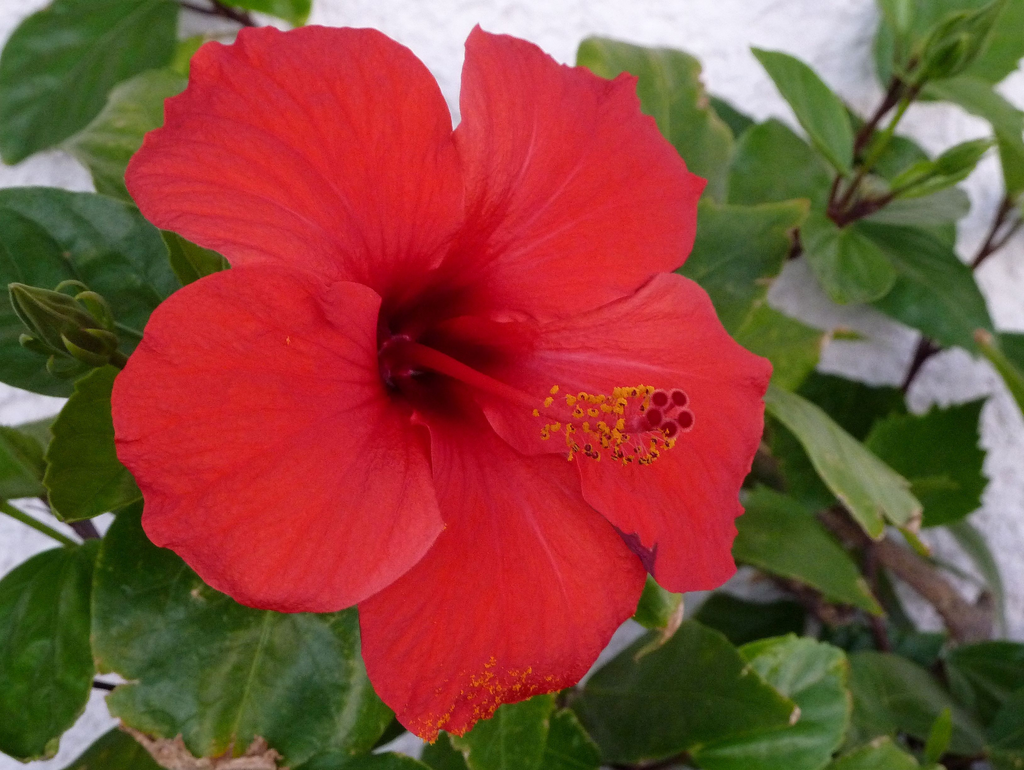 Hibiscus High Definition