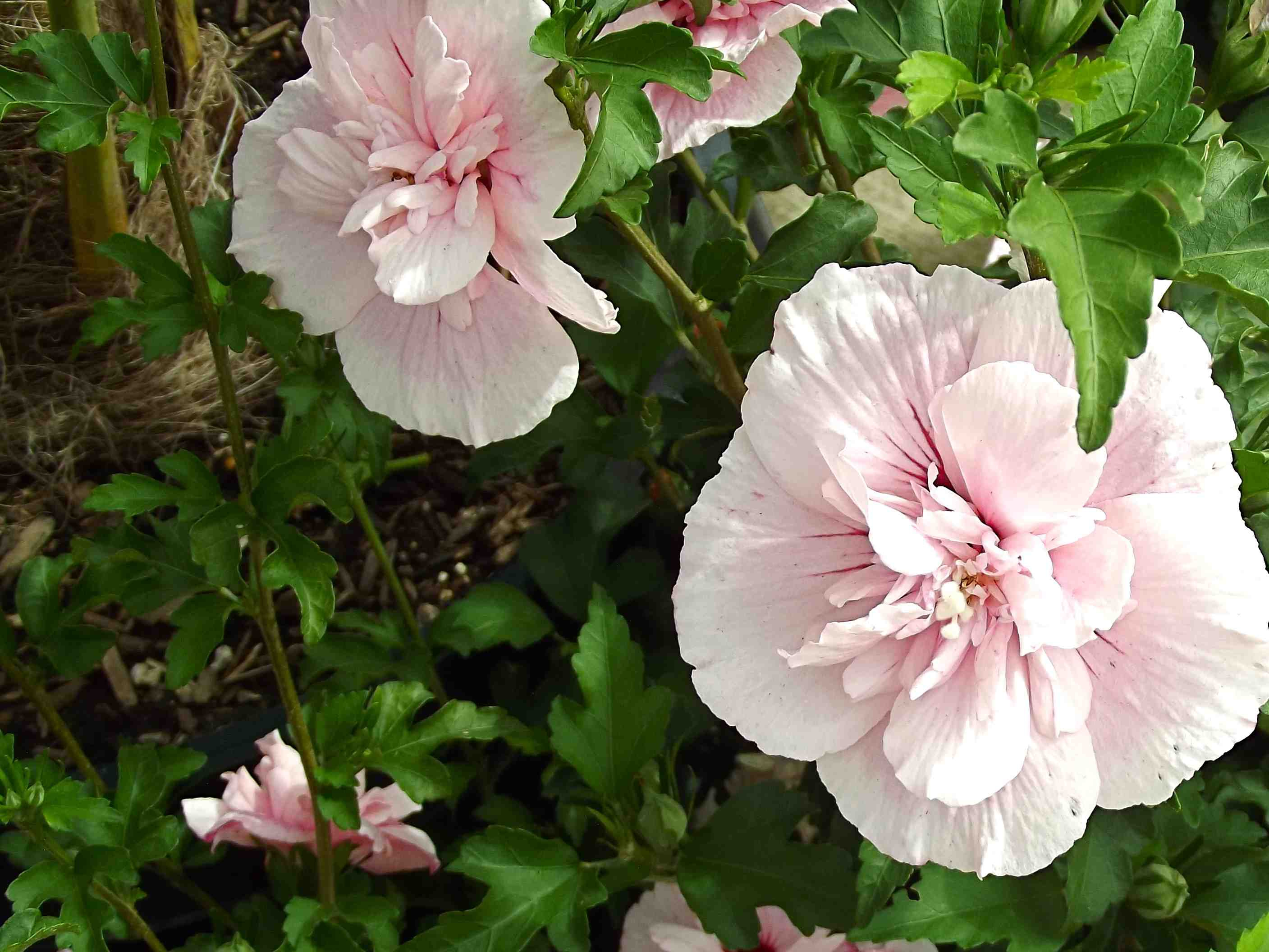 Hibiscus Photos