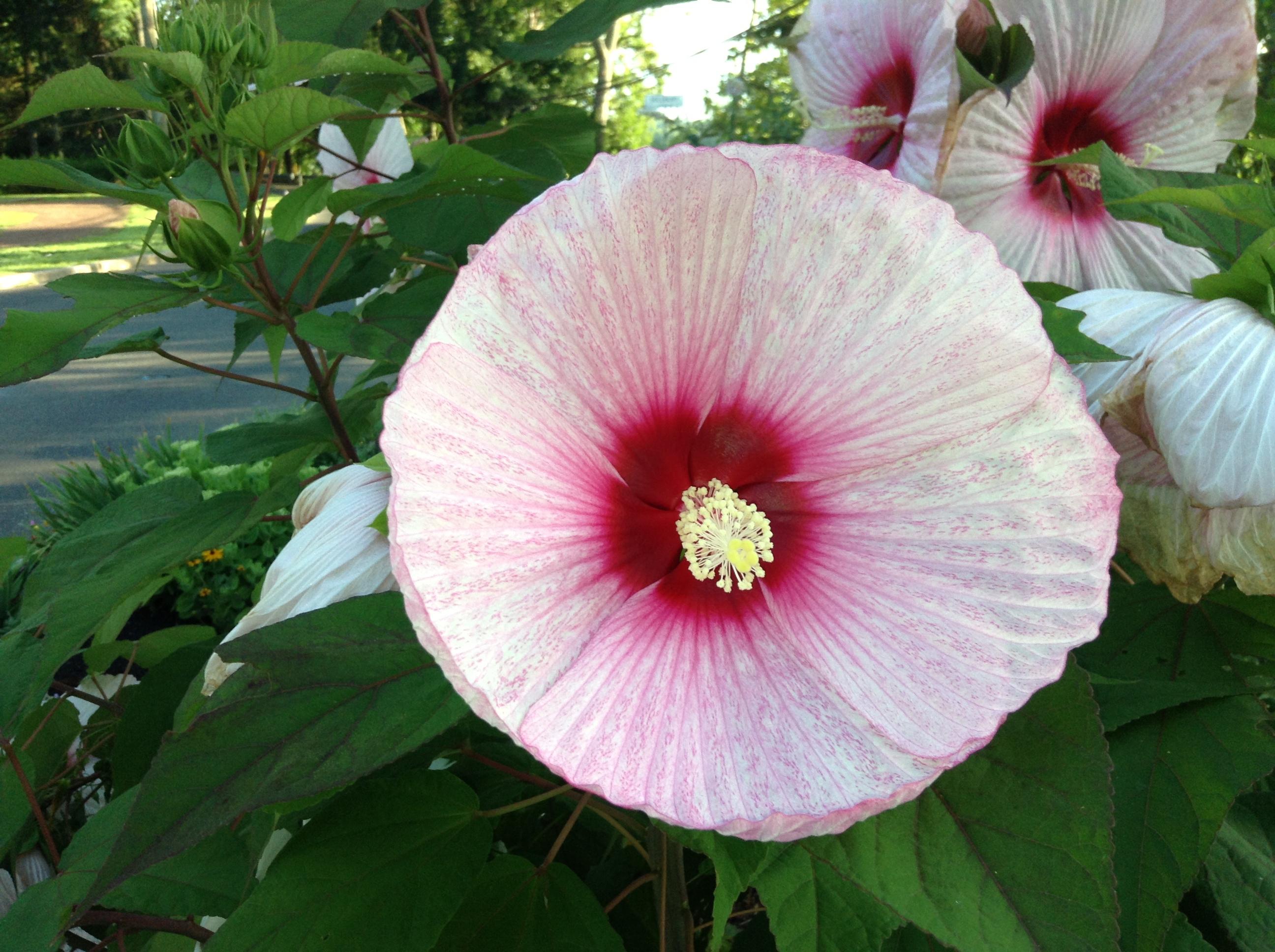 Hibiscus Pictures
