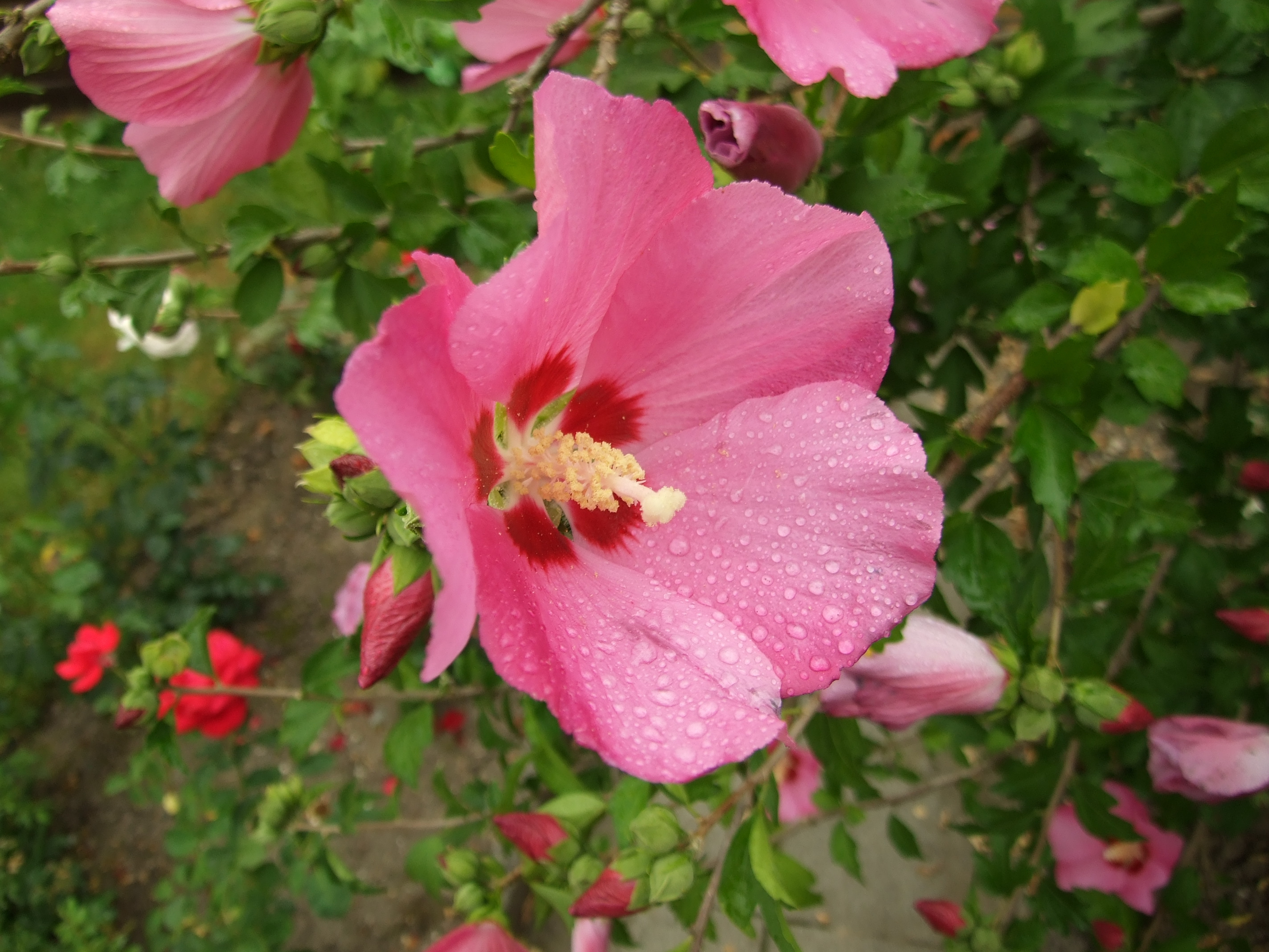 Hibiscus Wallpapers And Backgrounds