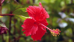 Hibiscus For Desktop