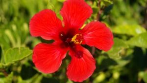 Hibiscus For Desktop Background