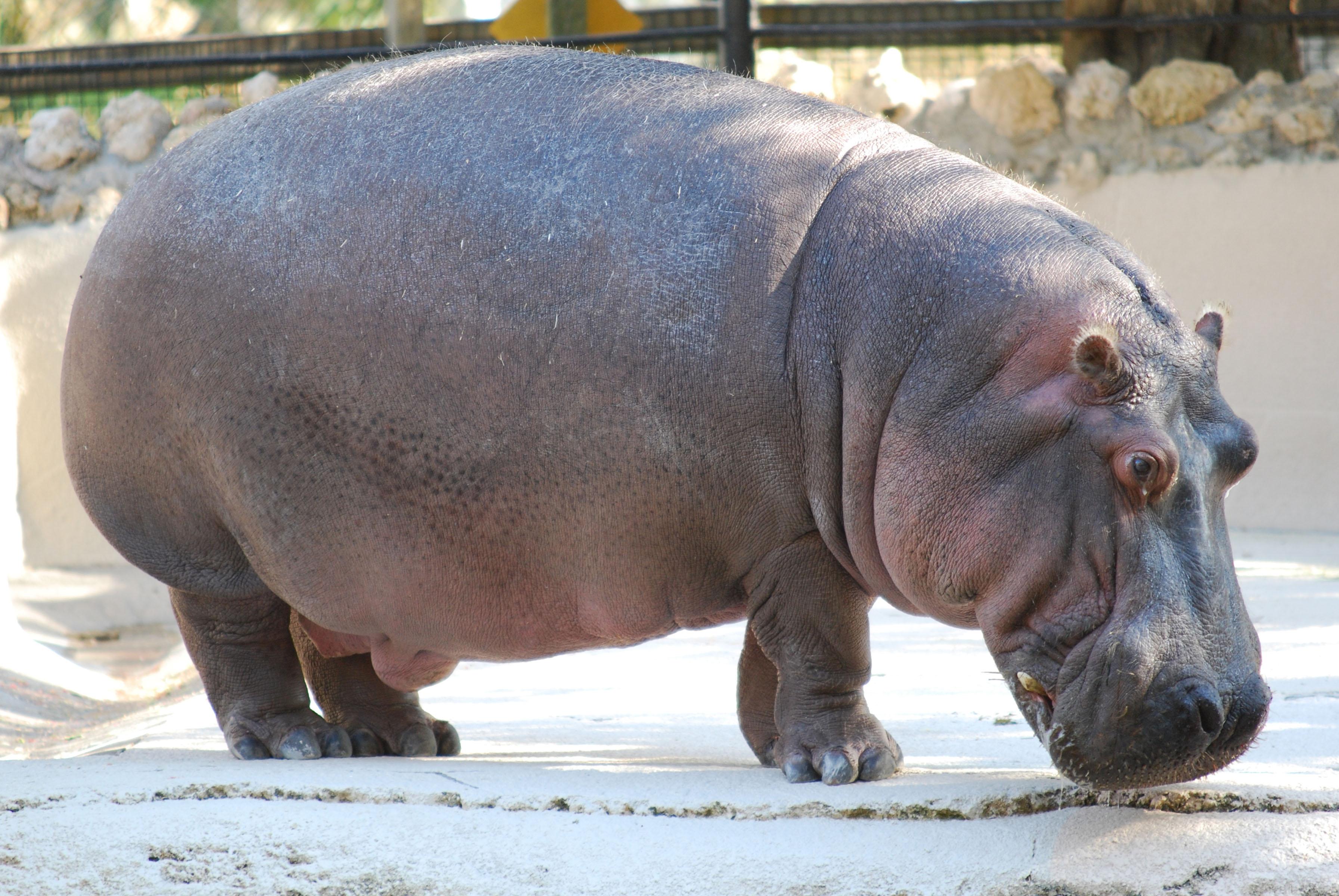 Hippopotamus Background