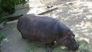 Hippopotamus Desktop
