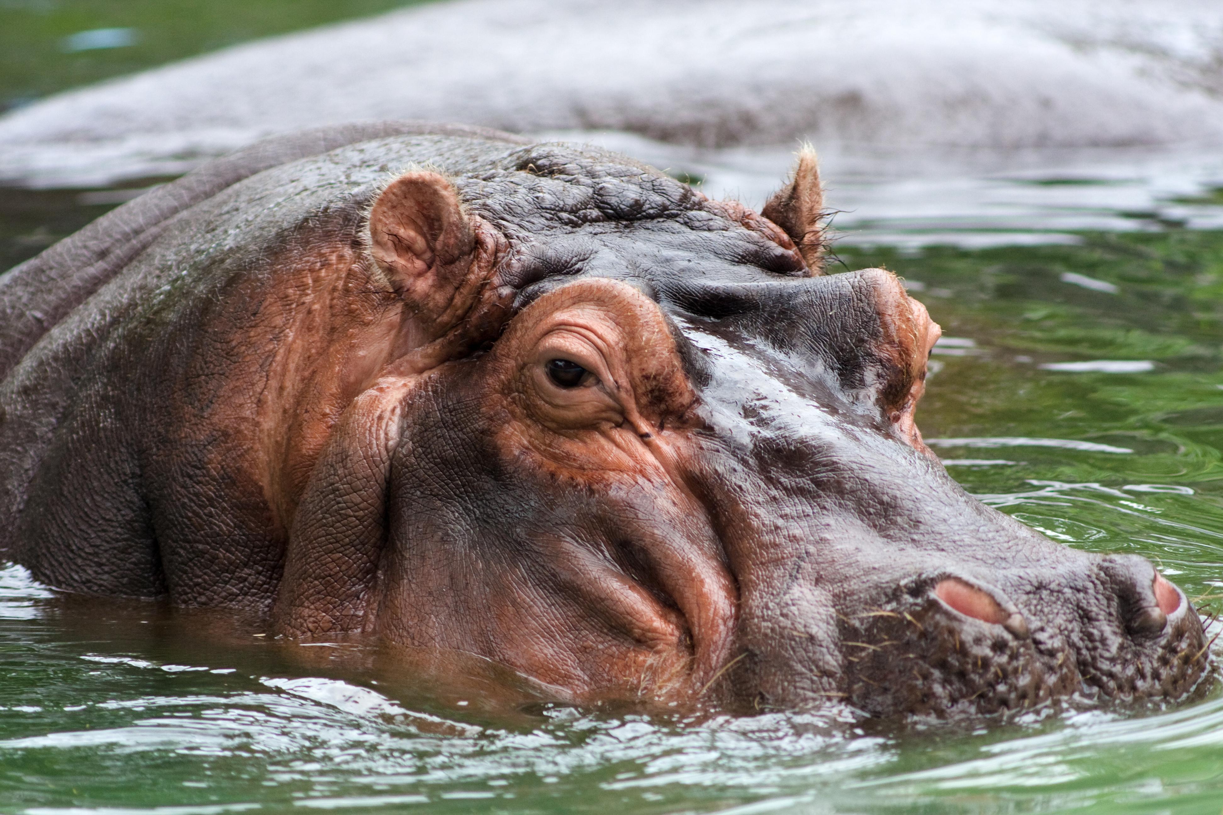 Hippopotamus Desktop Images