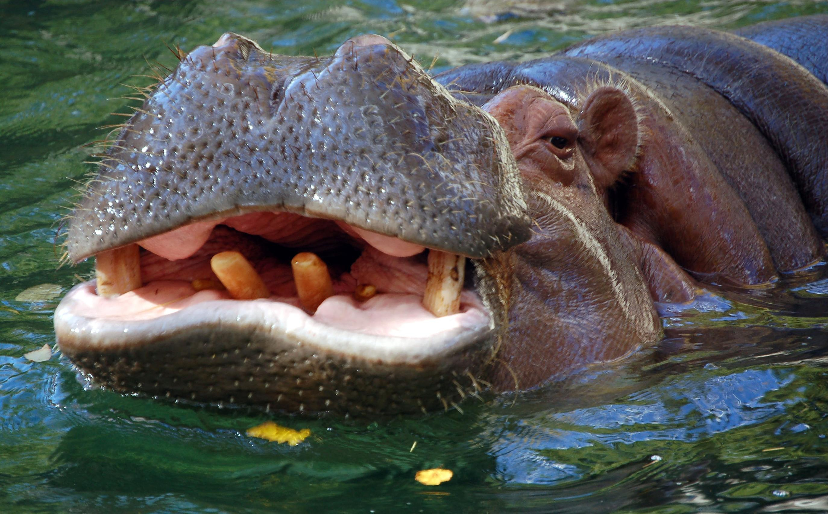 Hippopotamus Desktop Wallpaper