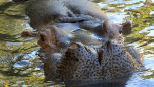 Hippopotamus Download