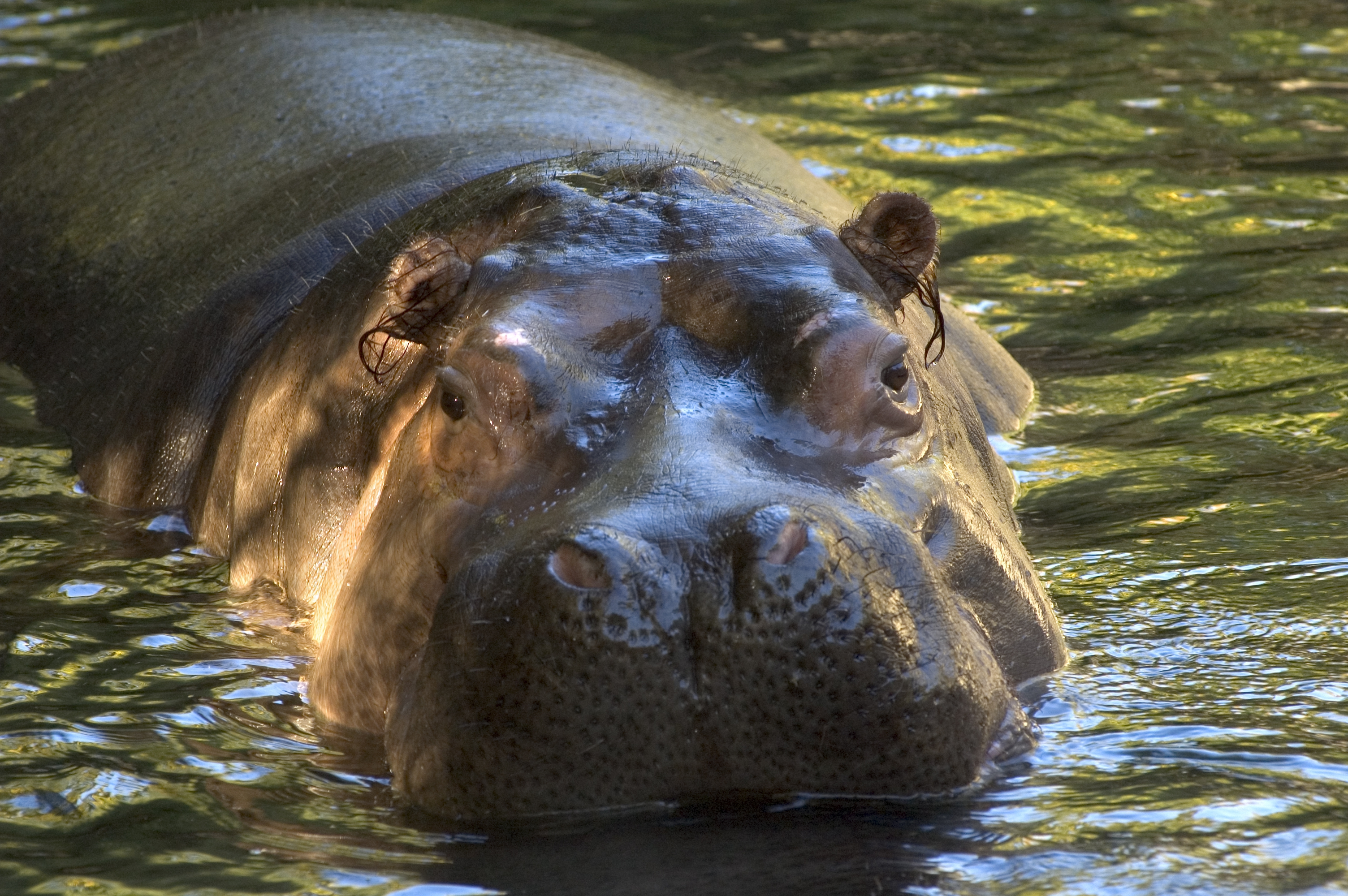 Hippopotamus Download Free Backgrounds Hd