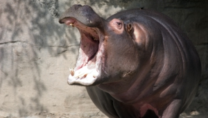 Hippopotamus Free Download