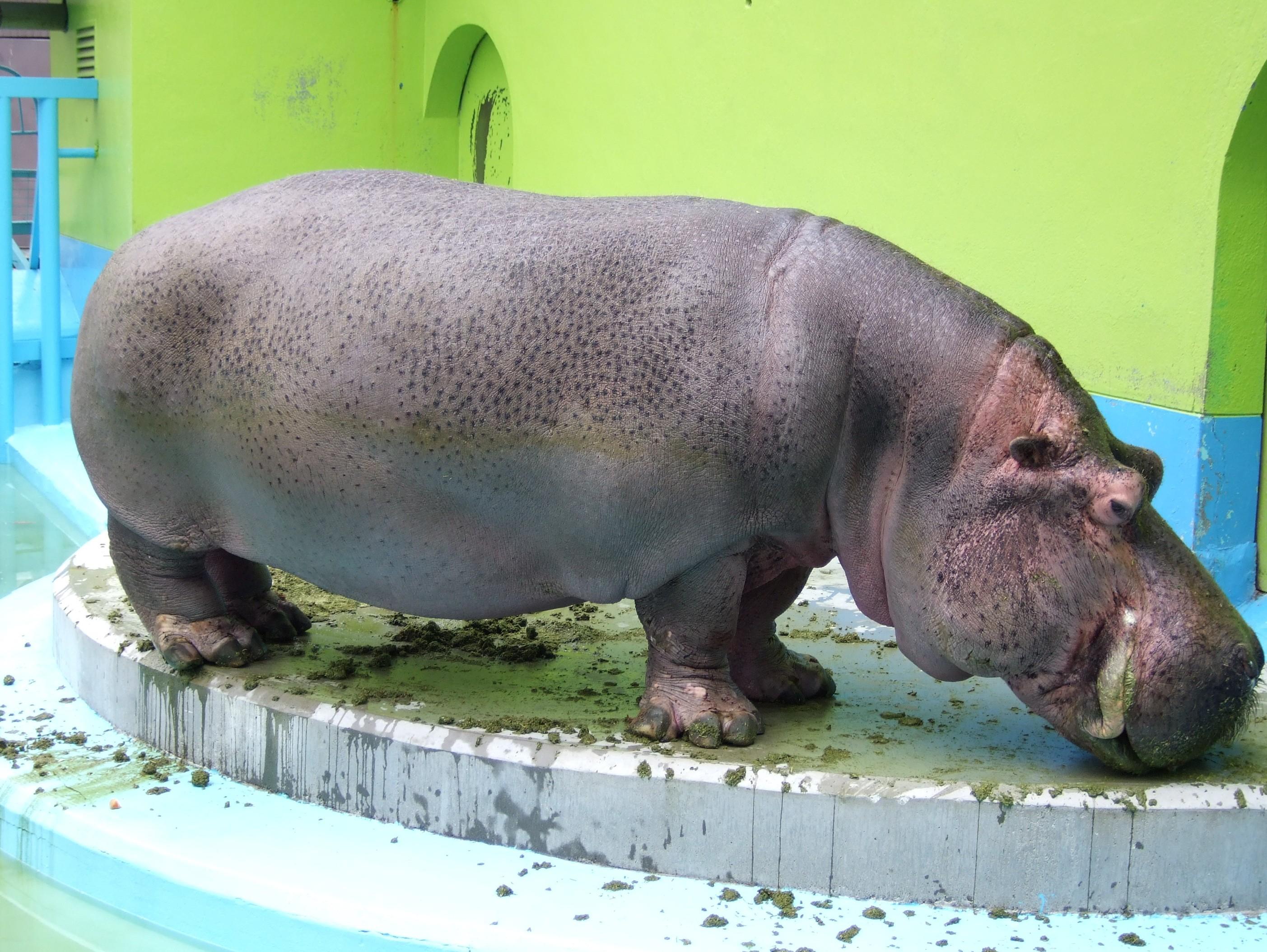 Hippopotamus Free Hd Wallpapers