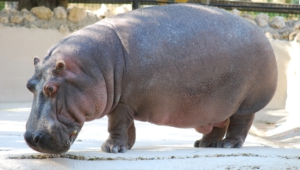 Hippopotamus Hd