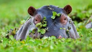 Hippopotamus Images