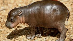 Hippopotamus Pictures