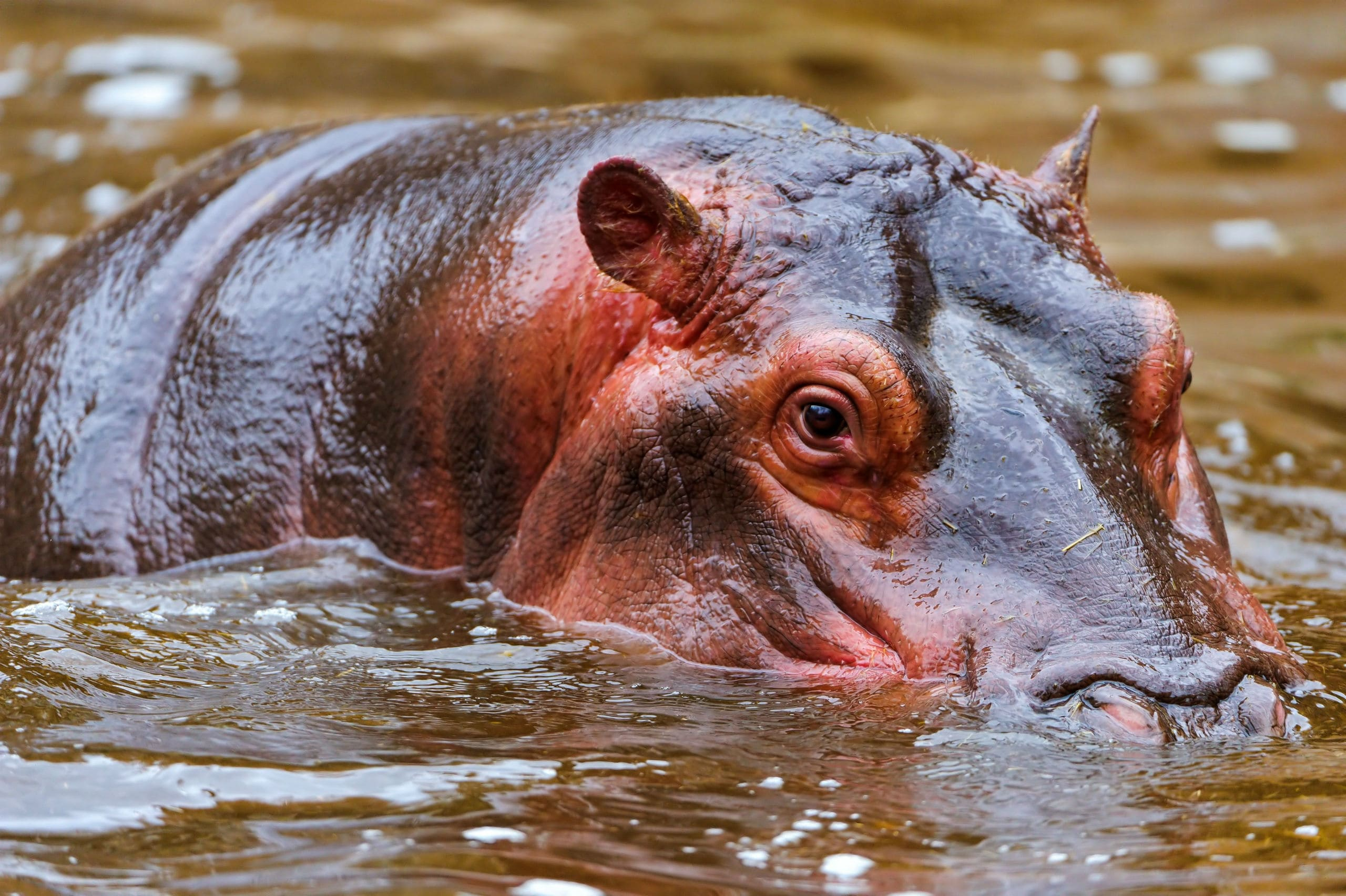 Hippopotamus Wallpapers Hd