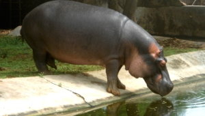 Hippopotamus Wallpapers And Backgrounds