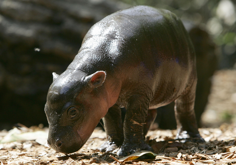 Hippopotamus Wallpapers