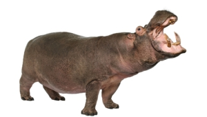 Hippopotamus For Desktop