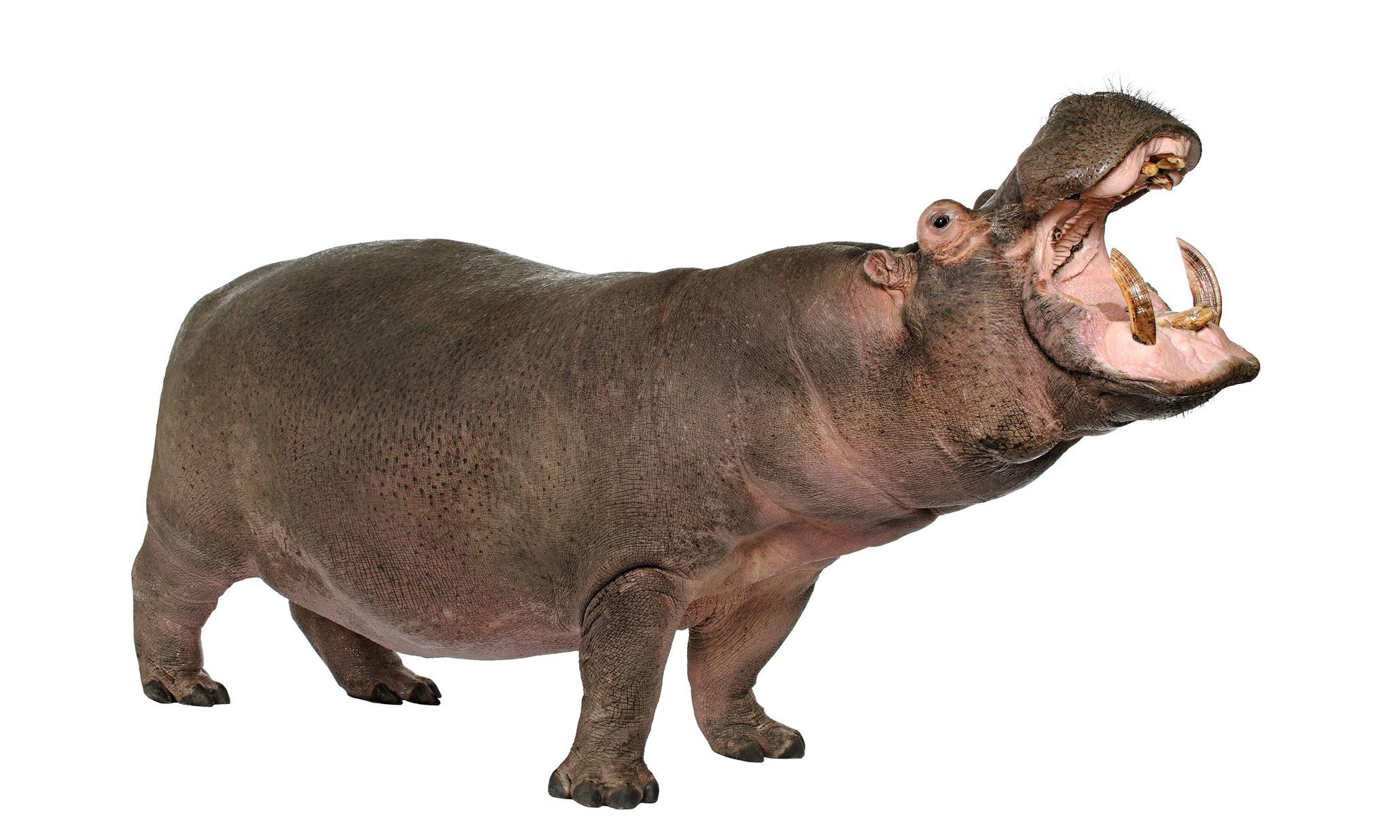 Hippopotamus For Desktop