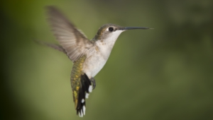 Hummingbird High Definition