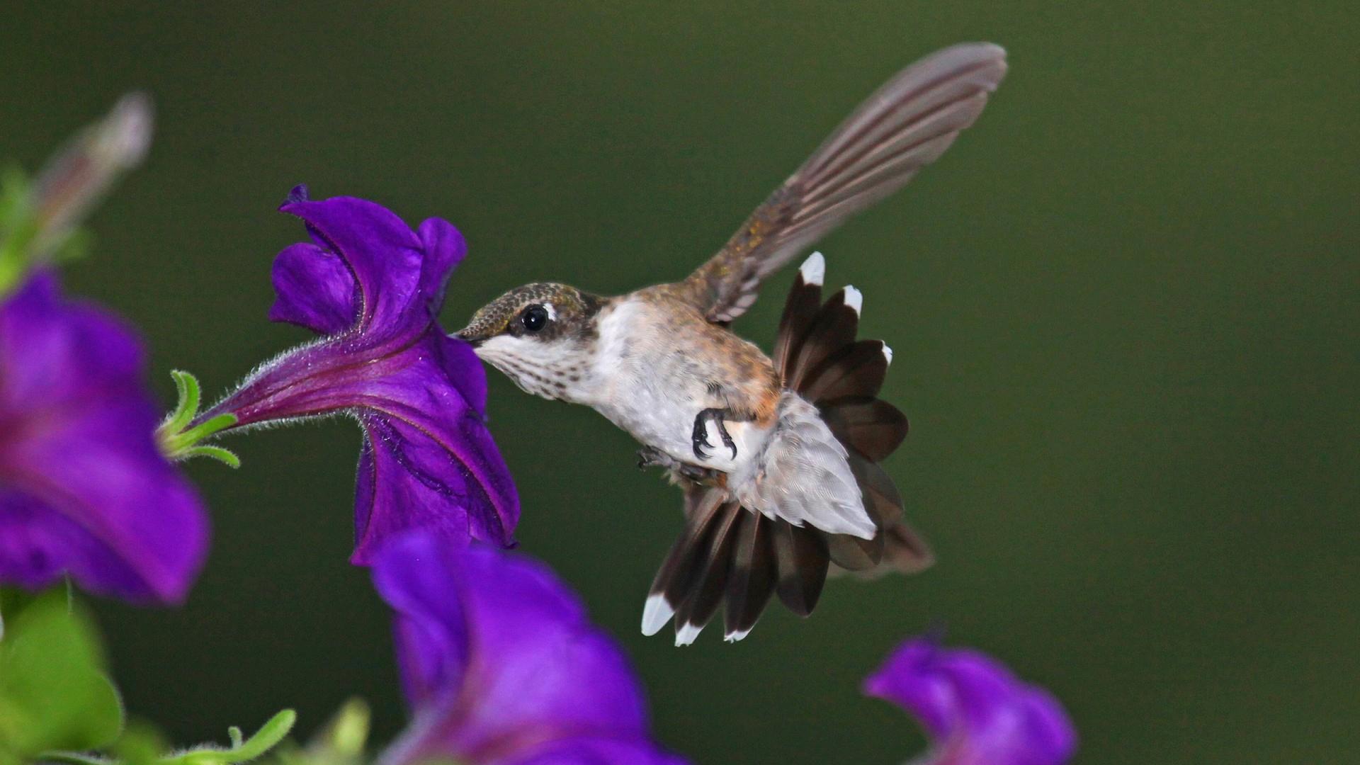 Hummingbird Wallpapers Hq