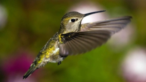 Hummingbird For Desktop