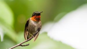 Hummingbird For Desktop Background