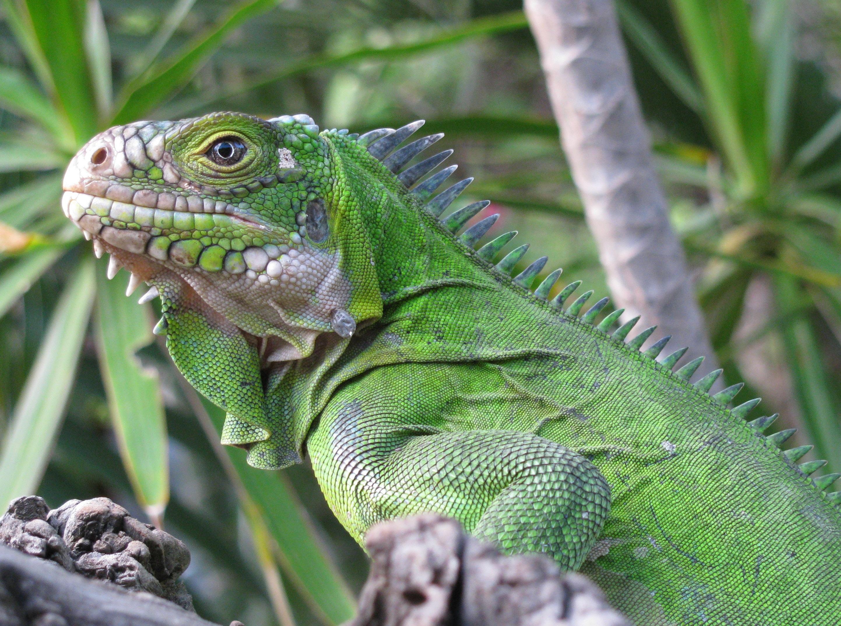 Iguana 4k