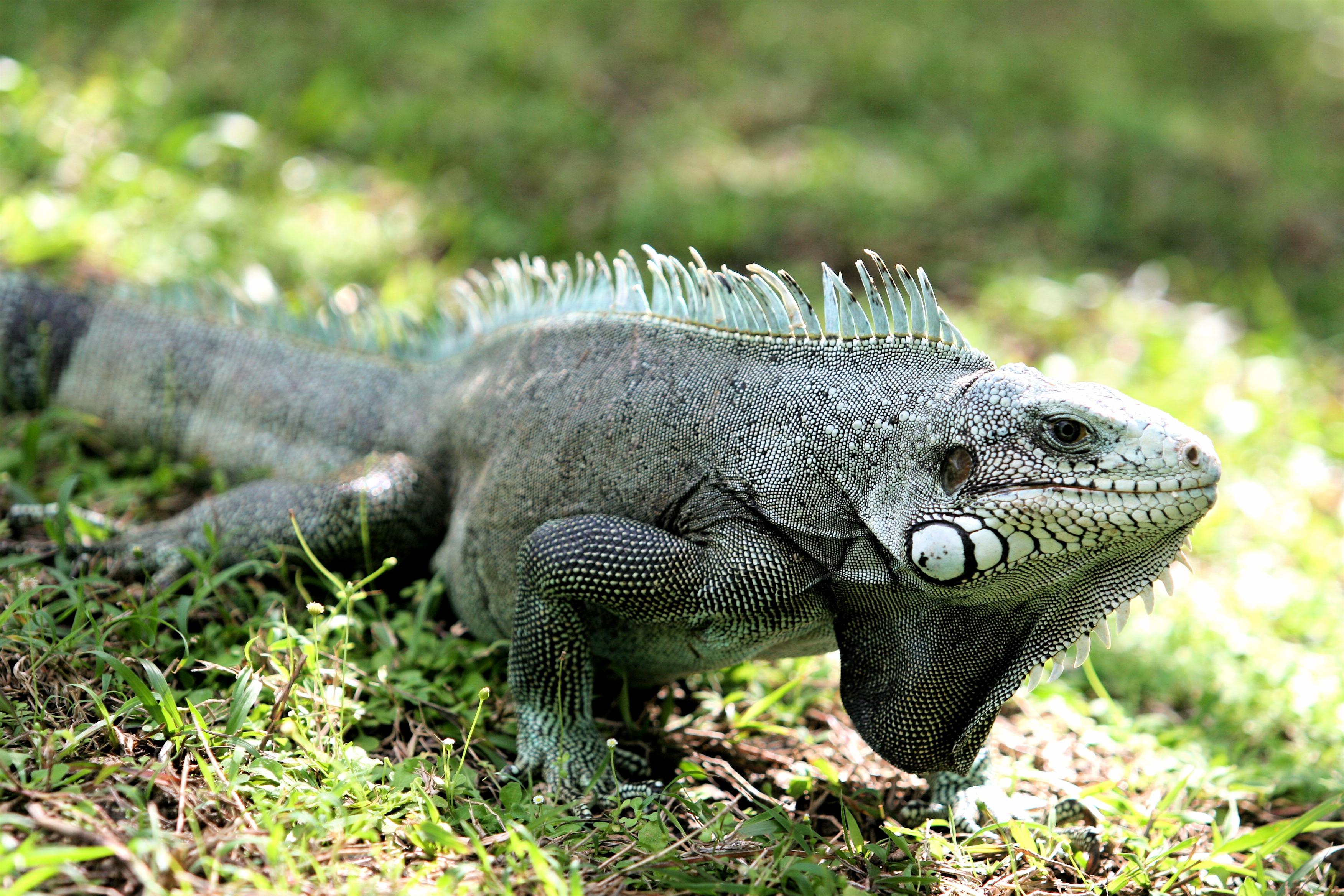 Iguana Background