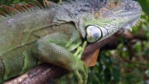 Iguana Desktop
