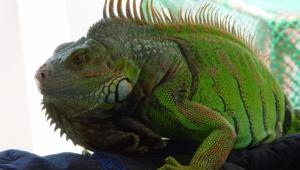 Iguana Desktop Images