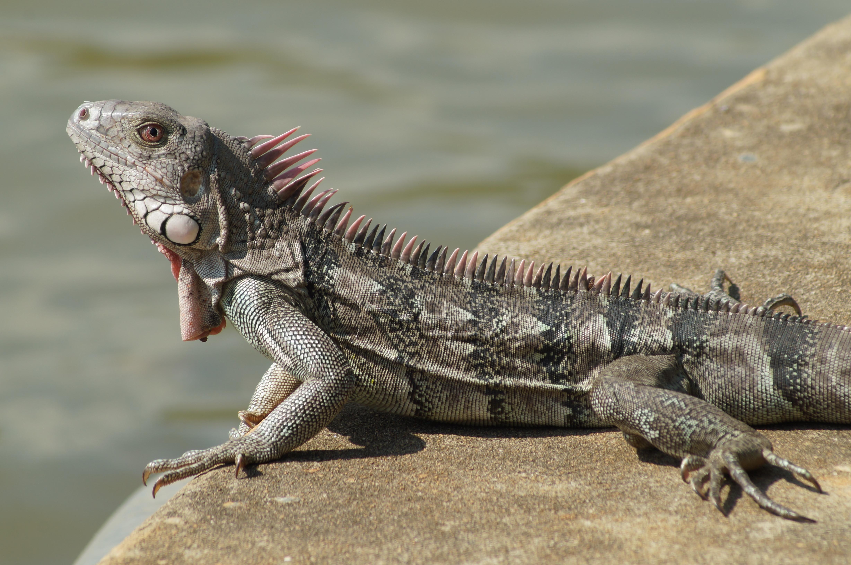 Iguana Desktop Wallpaper