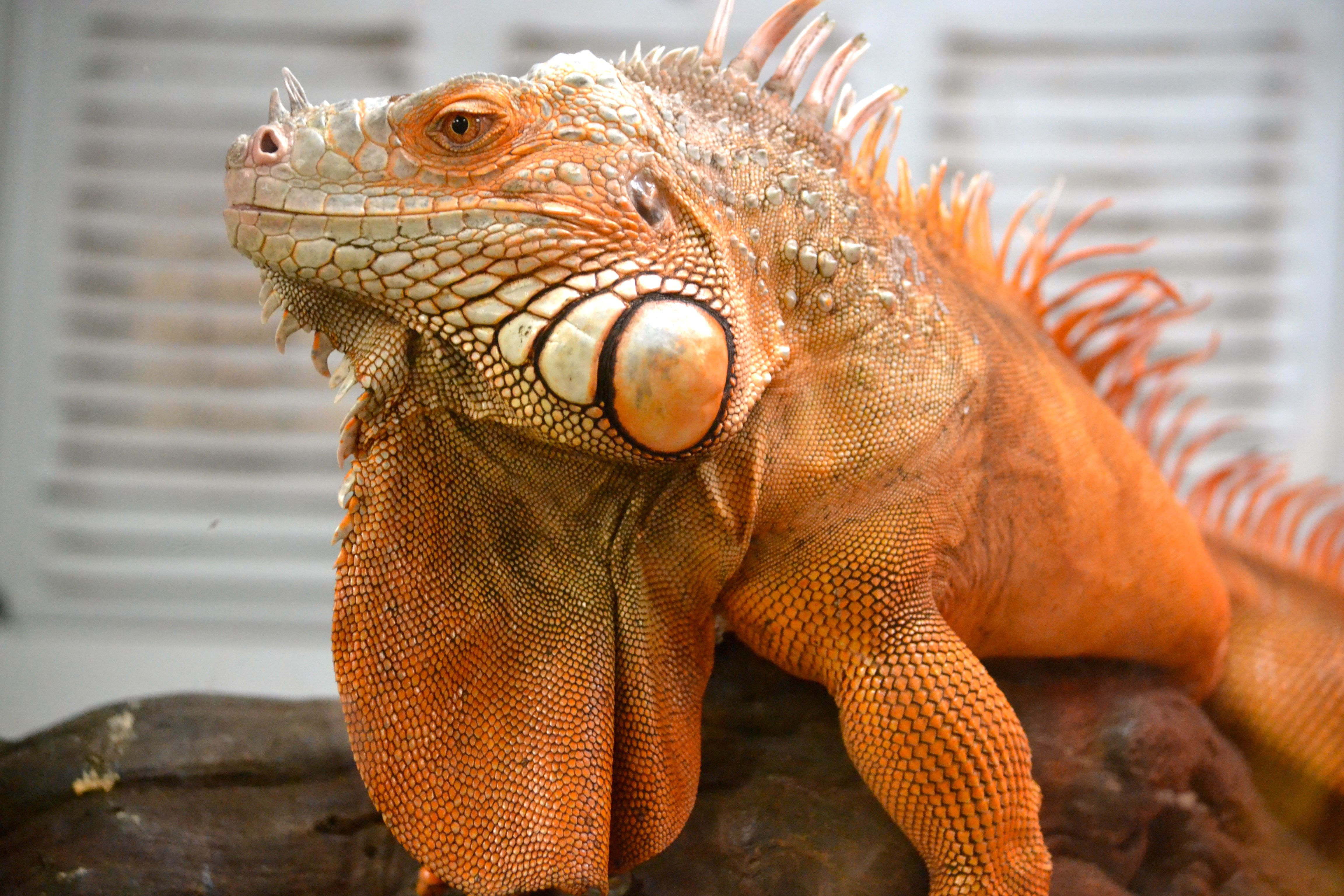 Iguana Download