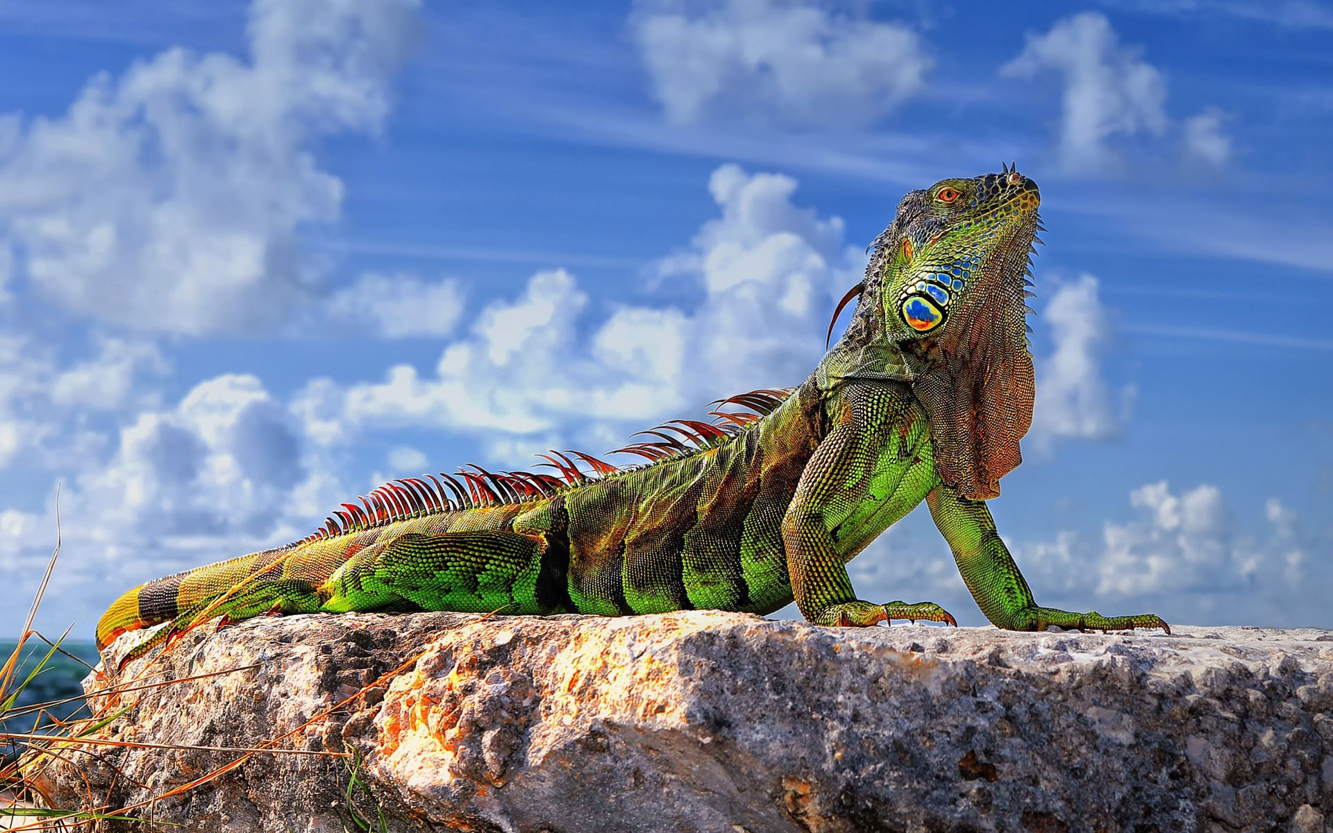 Iguana Hd Background
