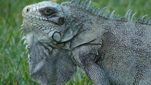 Iguana Hd Desktop