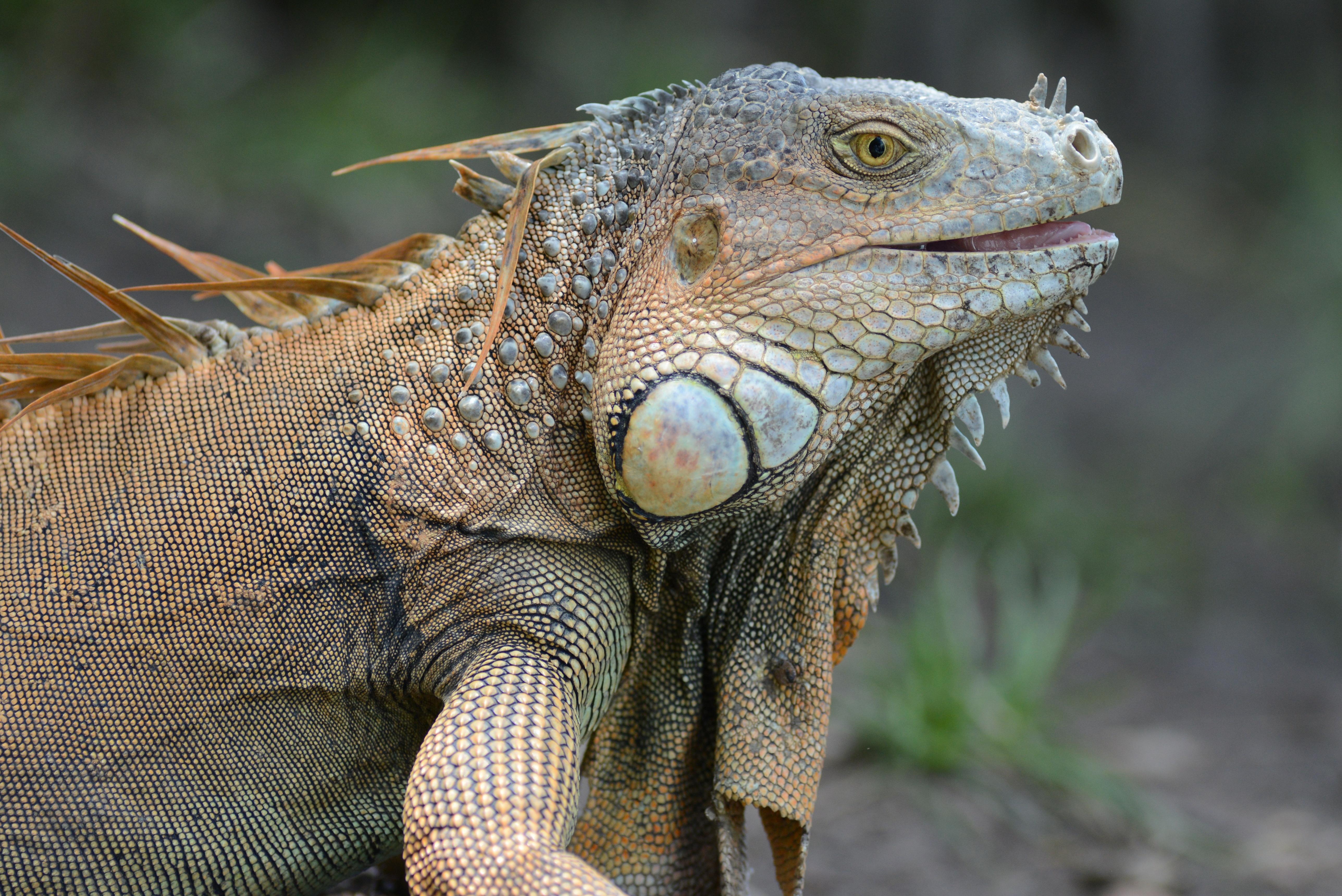 Iguana Hd