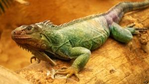Iguana High Definition