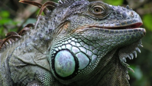 Iguana High Definition Wallpapers