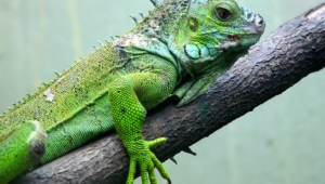Iguana High Quality Wallpapers