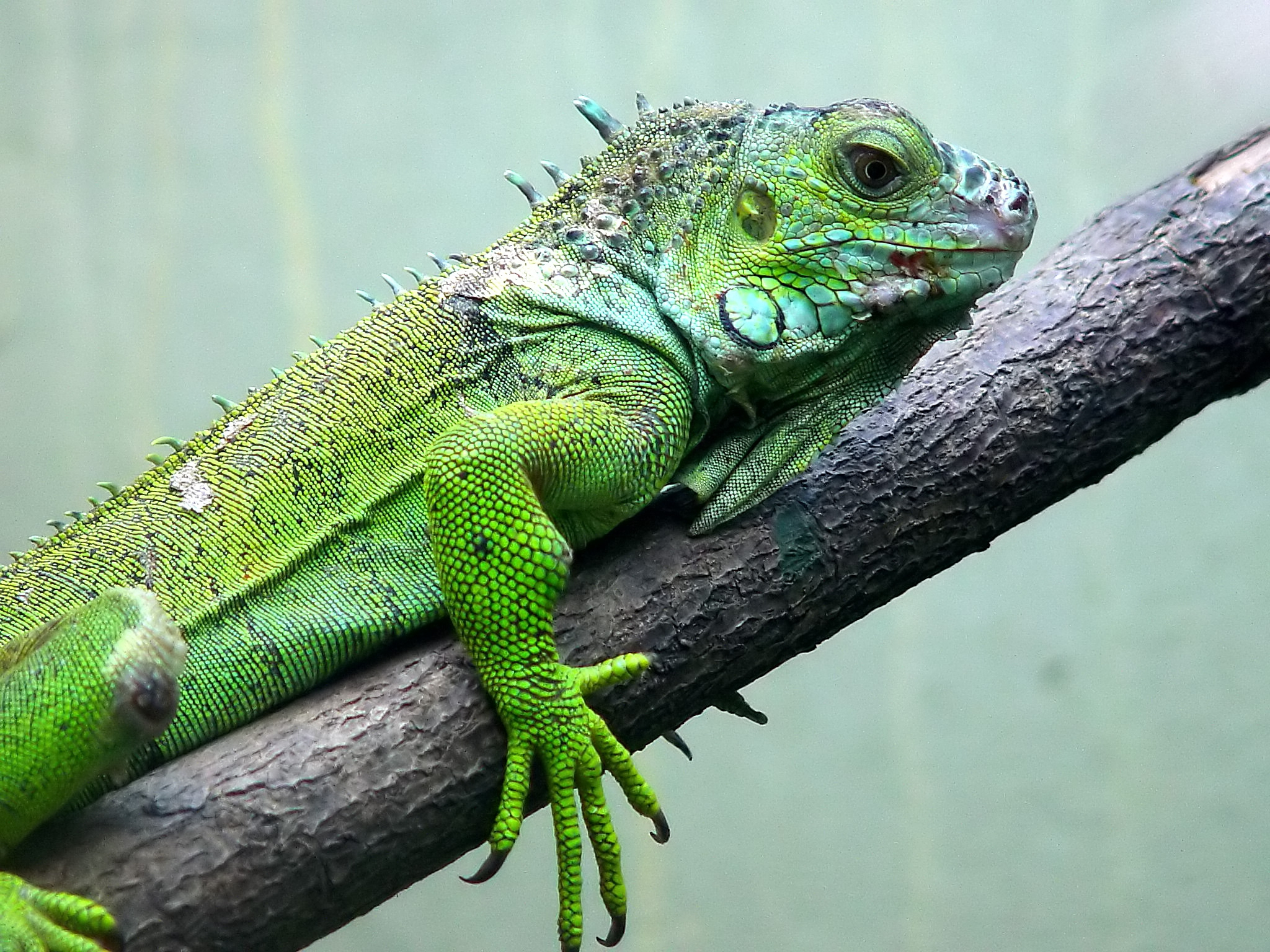 Iguana High Quality Wallpapers