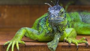 Iguana Images