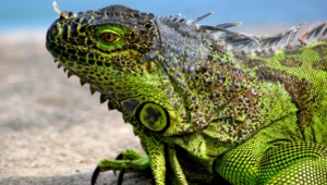 Iguana Wallpapers Hd