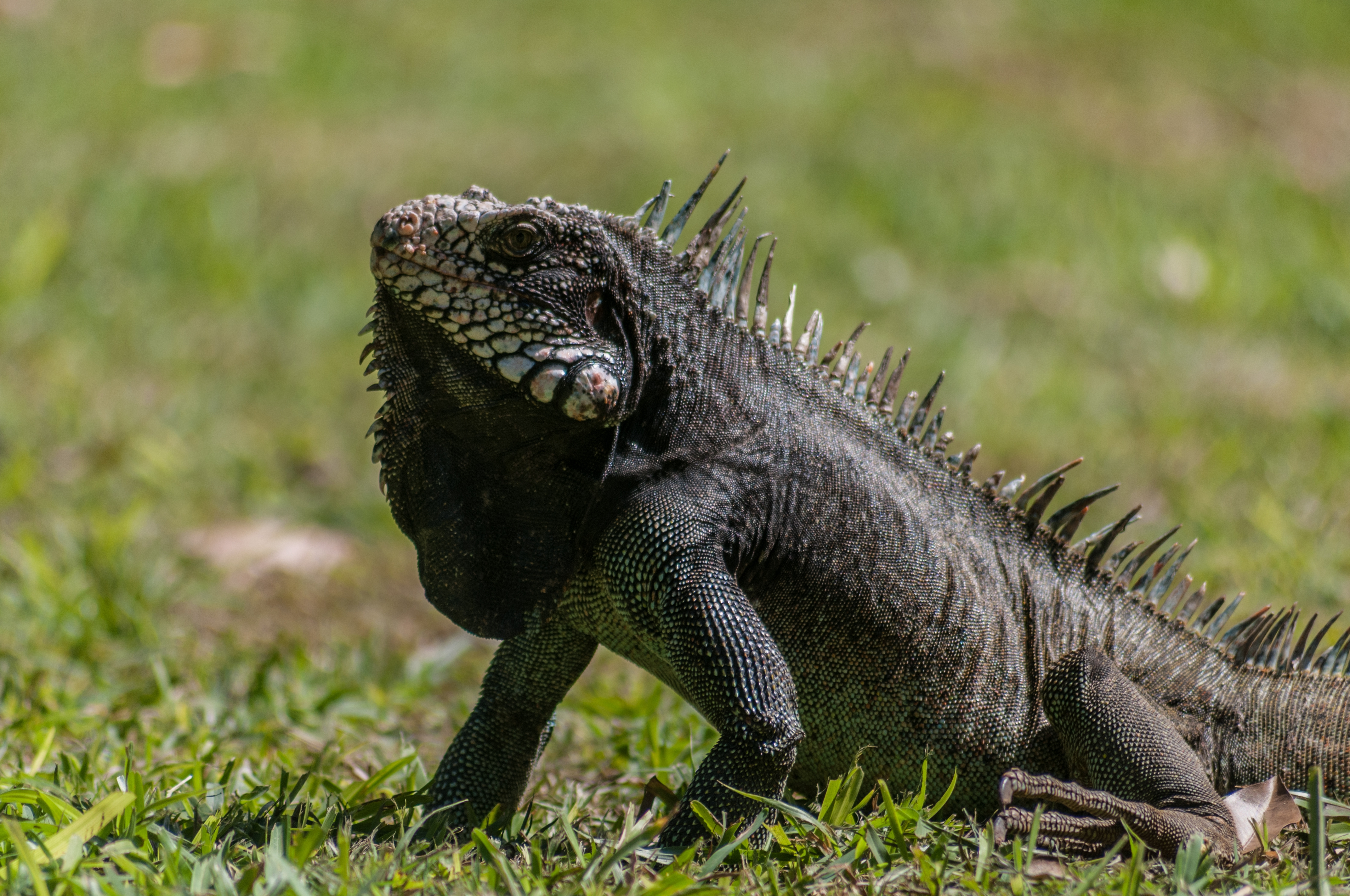 Iguana Wallpapers And Backgrounds