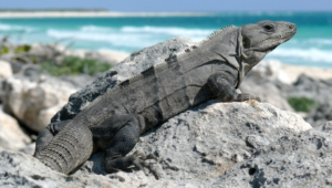 Iguana Widescreen