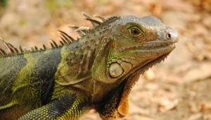 Iguana For Desktop Background