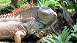Iguana Full Hd
