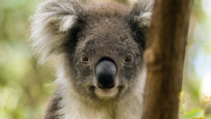 Images Of Koala