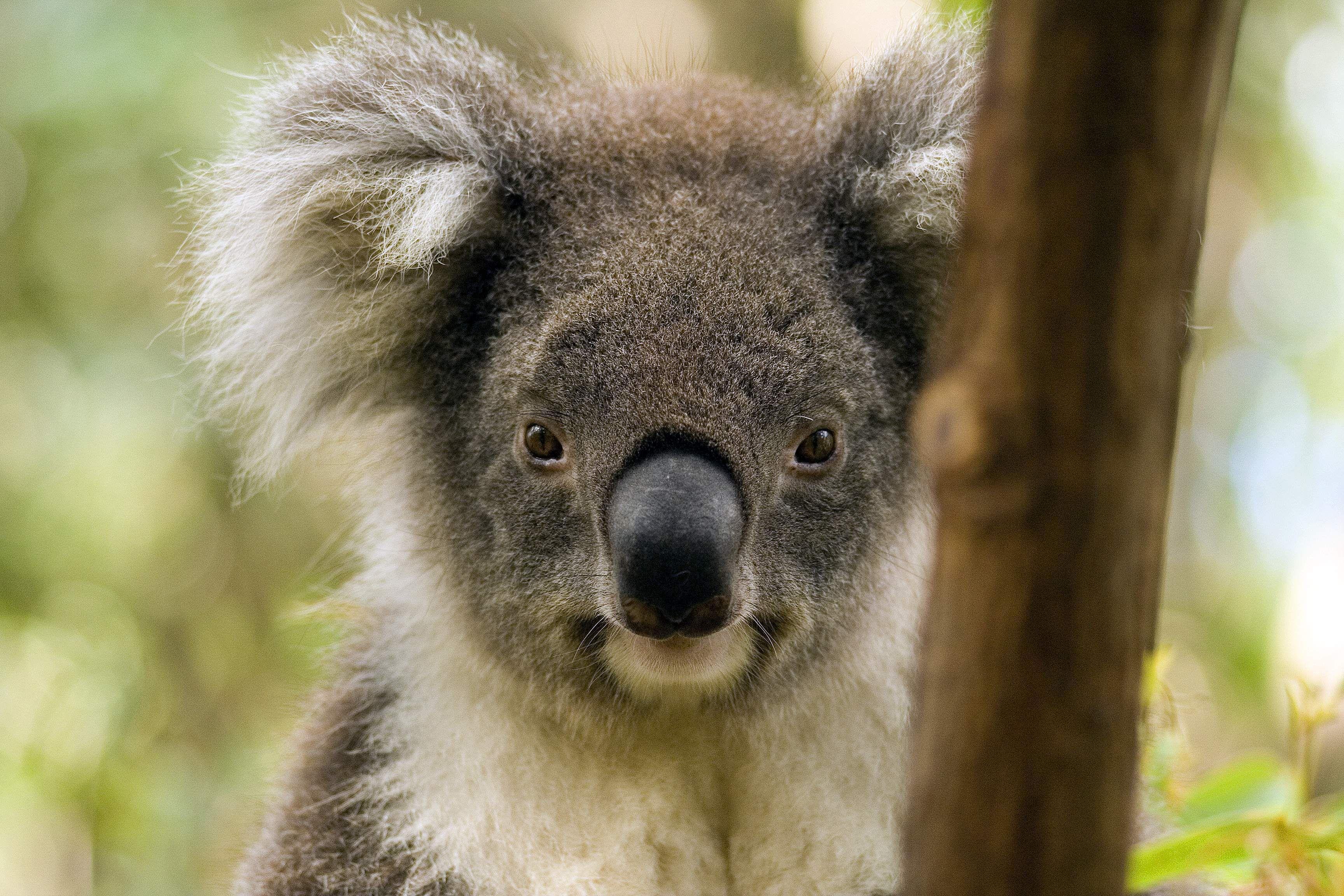 Images Of Koala